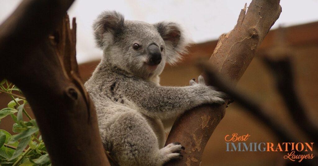 australia tree koala